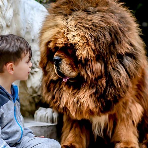 L Elevage Elevage De Dogue Du Tibet Des Lions Du Tibet