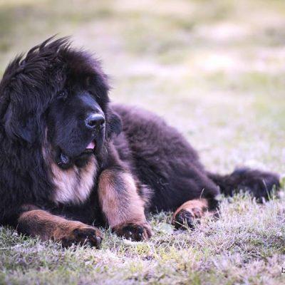 Moscou des Lions du Tibet