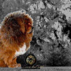 lei des lions du tibet