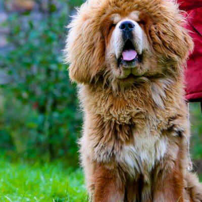 loki des lions du tibet