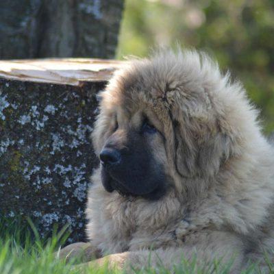 Mei des lions du Tibet