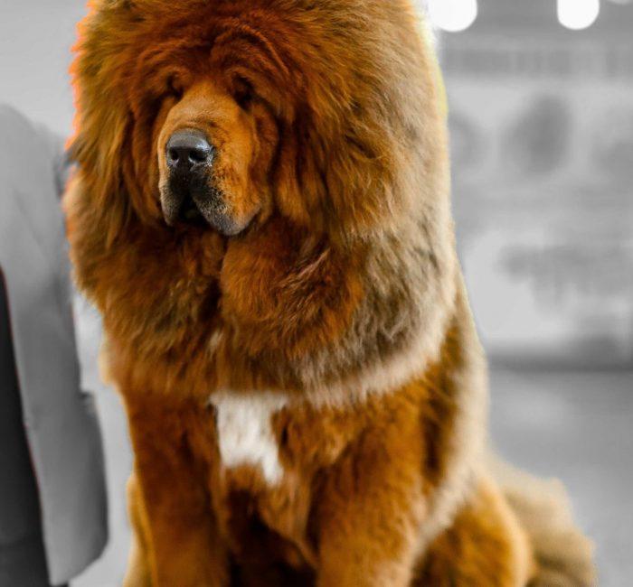 chiens-Dogue-du-Tibet-a8f7f9a5-062e-cf34-f9ba-8b82ac4b515c_min